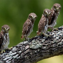 Pygmy-Owl Chicks