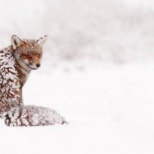 Snowed In Red Fox