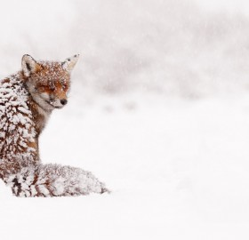 Snowed In Red Fox