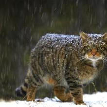 Wildcat of Scotland