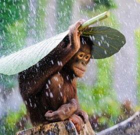 Young Orangutan Covering Himself From The Rain