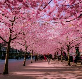 Blossom Street In Stockholm, Sweden