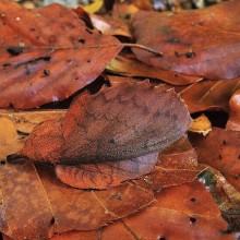 Camouflage Mappet Leaf Moth