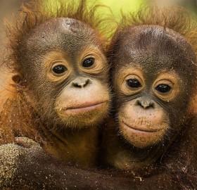 Cute Baby Orangutan Orphans