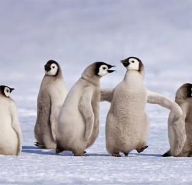 Emperor Penguin Chicks, Antarctica