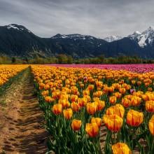 Flower Fields, Agassiz, Canada
