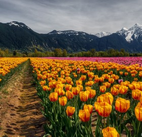 Flower Fields, Agassiz, Canada