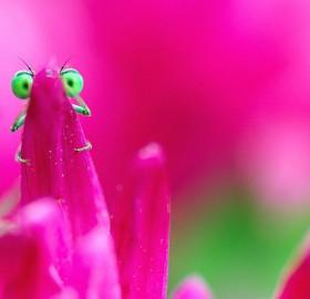Green-Eyed Damselfly Behind Flower Petal