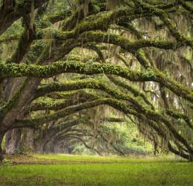 Oak Tree Forest, South Carolina
