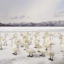 Swan Flock On Frozen Lake Kussharo, Japan
