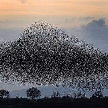 Tens Of Thousands Of Starlings Form Spectacular Murmuration