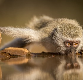 Vervet Monkey Drinking From A River, South Africa