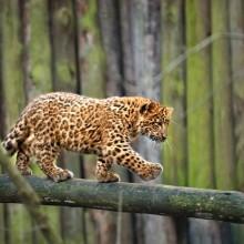 Adorable Leopard Cub