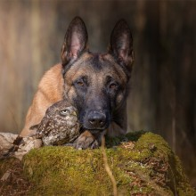 Best Friends, Belgian Malinois And An Owl
