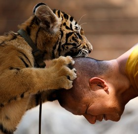 Buddhist Monk Plays With A Baby Tiger, Thailand