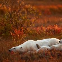 Mother And A Cub Polar Bears, Canada