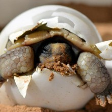 Baby Desert Tortoise Hatching From Its Egg
