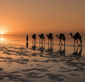 Camels On A Salt Lake, North Africa