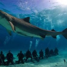 Divers Chilling Below Huge Tiger Shark