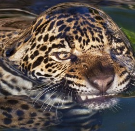 Leopard's Surface Tension