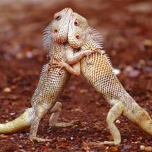 Lizard Face-Off