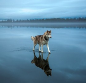 Siberian Husky Walking On A Frozen Lake
