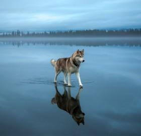 Siberian Husky Walking On A Frozen Lake