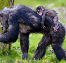 Baby Chimpanzee Dayo And His Mother