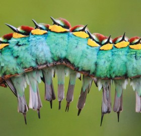 European Bee-Eaters Birds