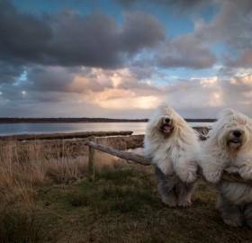 Sheepdog Sisters Posing Together, Holland