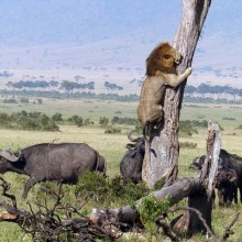 A Lion Runs Away From Buffaloes