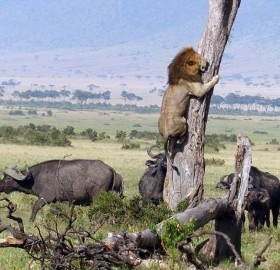 A Lion Runs Away From Buffaloes