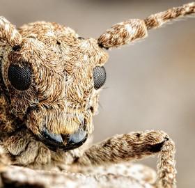 Amazing Long Horned Beetle