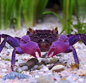 New Found Species Of Vampire Purple Crab
