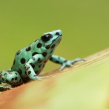 Poisonous Dyeing Dart Frog