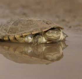 African Helmeted Turtle Smile