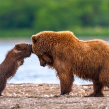Grizzly Bear Mother And Cub Playing