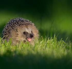 Hedgehog Smile