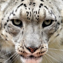 Snow Leopard Close-Up
