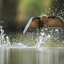 The Grey-Headed Flying Fox, Australia