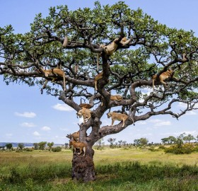 15 Lions On A Sturdy Tree In Central Serengeti, Tanzania