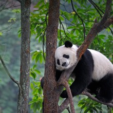 Giant Panda Sleeping On A Tree, China