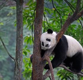 Giant Panda Sleeping On A Tree, China