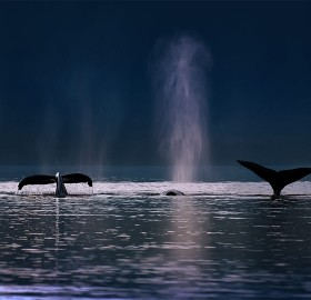 Humpback Whales Swim, Alaska