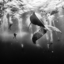 Swimming With Humpback Whales, Mexico