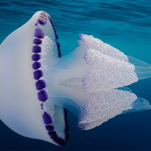 White Barrel Jellyfish