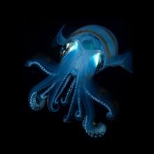 Bigfin Reef Squid At Night, Taiwan