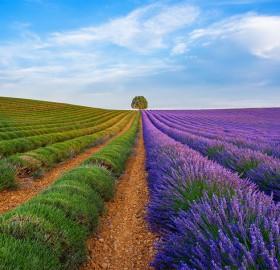 Lavender Province, Valensole, France