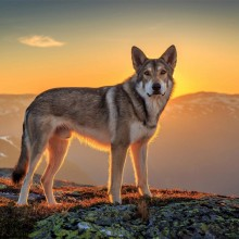 Wolfdog In The Mountains, Norway