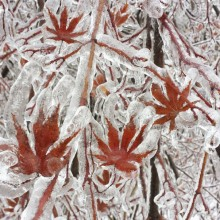 Maple Tree After An Ice Storm, Canada